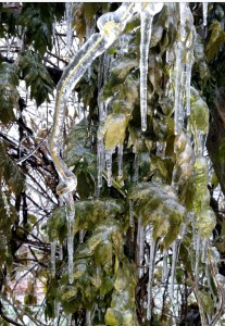 ice on wisteria